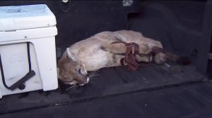 A tranquilized mountain lion is seen in Simi Valley on Dec. 12, 2019. (Credit: KTLA)