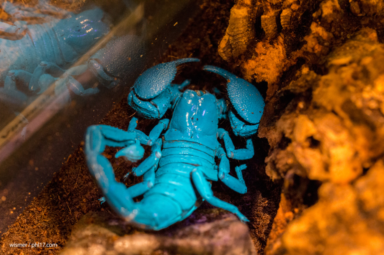 (17) emperor-scorpion-bug-fest-at-the-academy-of-natural-sciences-2015