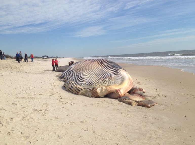 Massive dead whale washes ashore on Long Island
