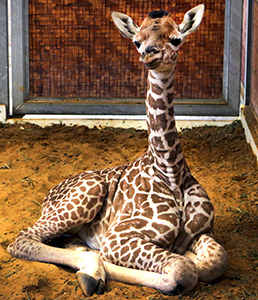 Katies-baby-girl-giraffe-DT