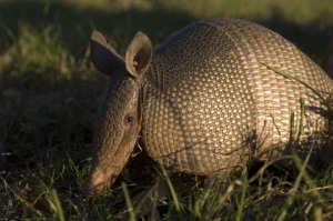 TEXAS, UNITED STATES - 2006/04/30: USA, Texas, Hill Country Near Hunt, Nine-banded Armadillo In Evening Sunshine. (Photo by Wolfgang Kaehler/LightRocket via Getty Images)