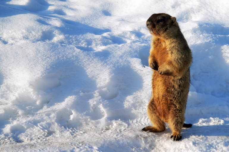 Marmot in early spring Credit: Thinkstock
