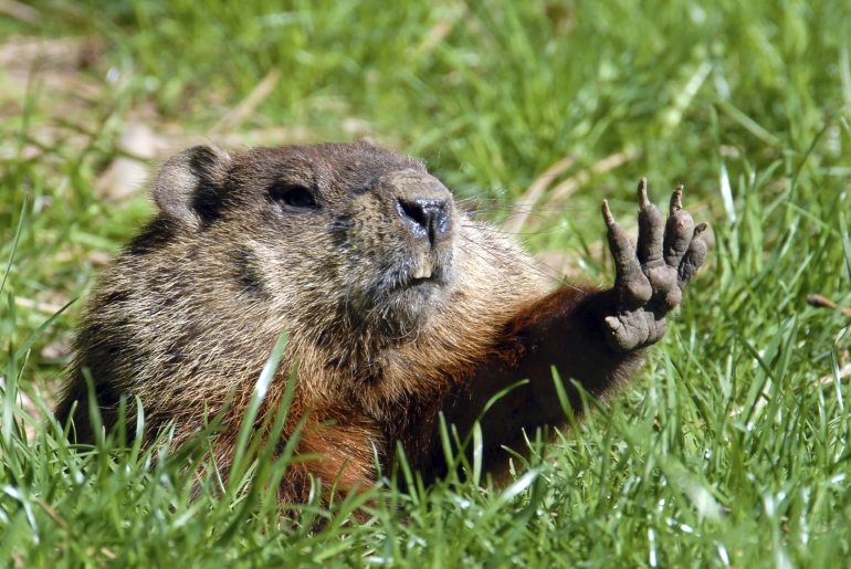 Give me five shows Groundhog Credit: Thinkstock