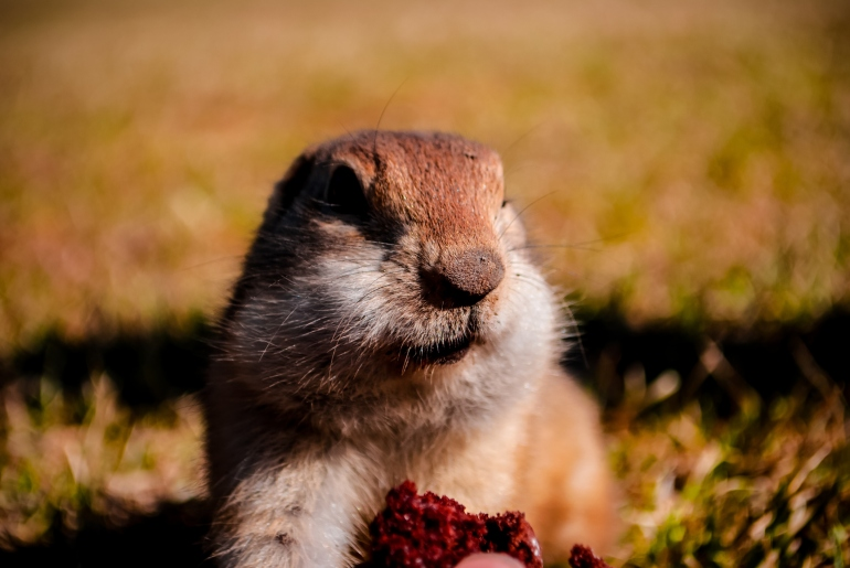 Closeup of groundhog with food Credit: Thinkstock