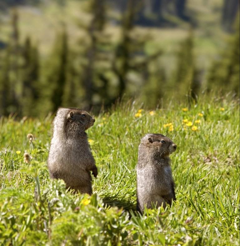 Marmots Mount Rainier National Park Washington, USA Credit: Thinkstock