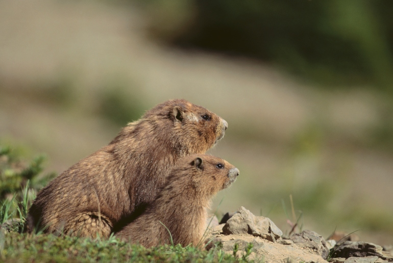 Olympic Marmots Credit: Thinkstock